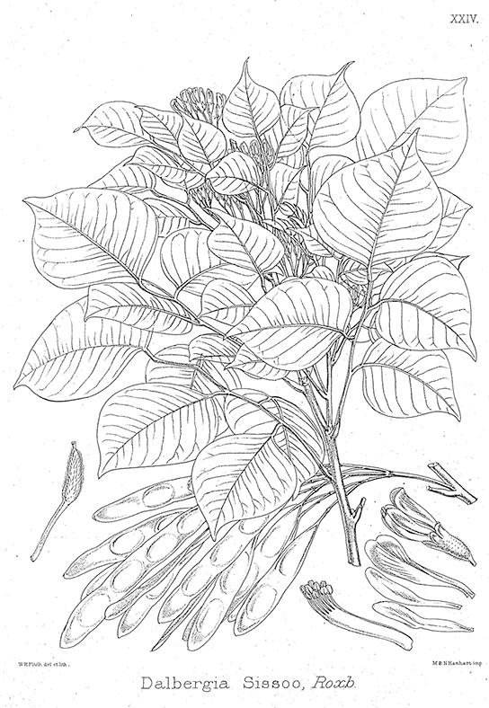The illustration shows a Dalbergia sissoo plant, which is short with pods and teardrop-shaped leaves.