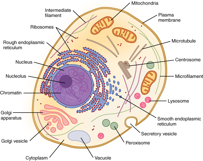 This diagram shows an animal cell with all the intracellular organelles labeled.