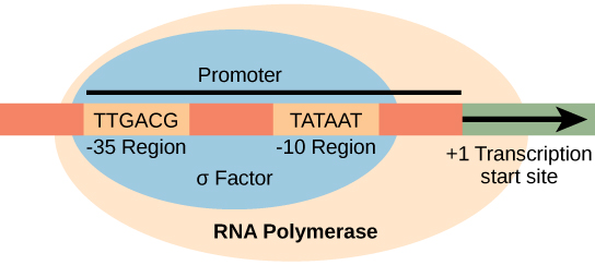 The σ subunit of prokaryotic RNA polymerase recognizes consensus sequences found in the promoter region ...