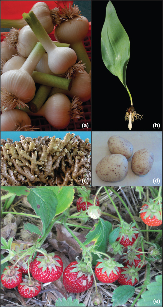 Three different types of asexual reproduction in plants