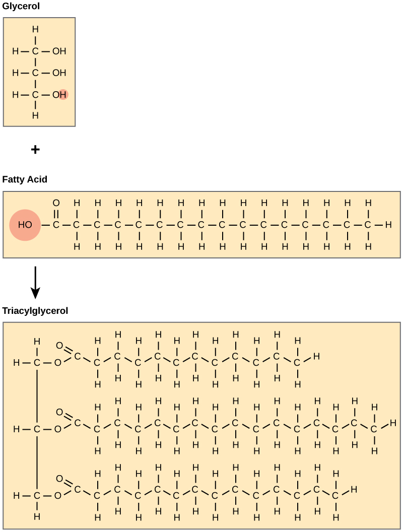 Building Blocks Of Glycerol And Fatty