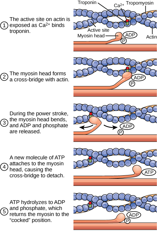 Illustration shows two actin filaments coiled with tropomyosin in a helix, sitting beside a myosin filament. Each actin filament is made of round actin subunits linked in a chain. A bulbous myosin head with ADP and Pi attached sticks up from the myosin filament. The contraction cycle begins when calcium binds to the actin filament, allowing the myosin head to from a cross-bridge. During the power stroke, the myosin head bends and ADP and phosphate are released. As a result, the actin filament moves relative to the myosin filament. A new molecule of ATP binds to the myosin head, causing it to detach. The ATP hydrolyzes to ADP and Pi, returning the myosin head to the cocked position.