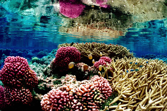 Photo shows pink brain-like coral and long, finger-like coral growing on a reef. Fish swim among the coral.