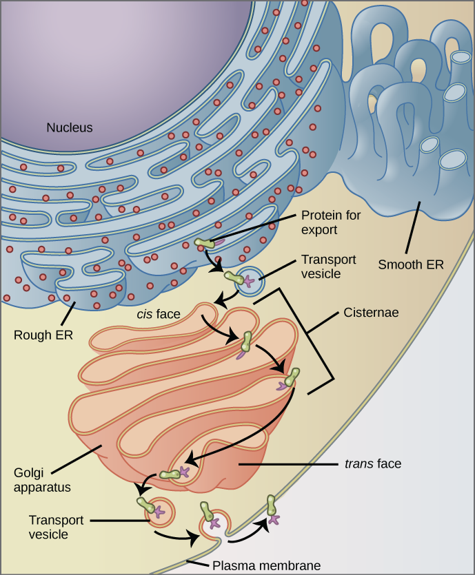 What is the endomembrane system and how does it function?