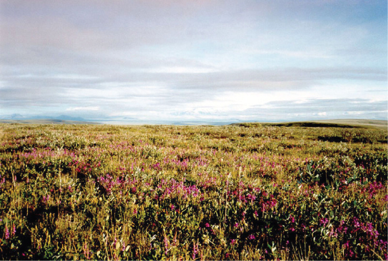 This photo shows a flat plain covered with shrub. Many of the shrubs are covered in pink flowers.