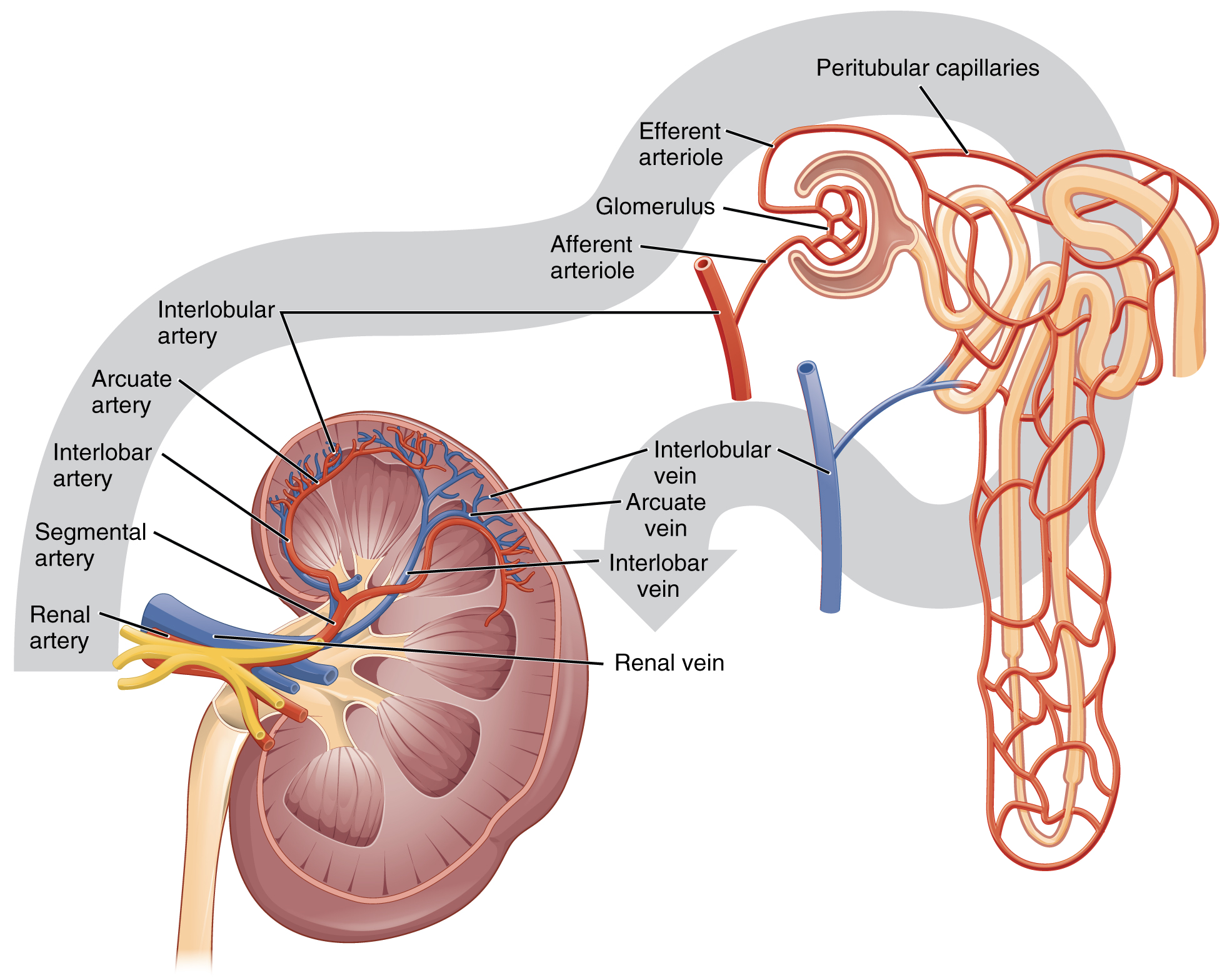 Gross Anatomy of the Kidney - Anatomy & Physiology - OpenStax CNX