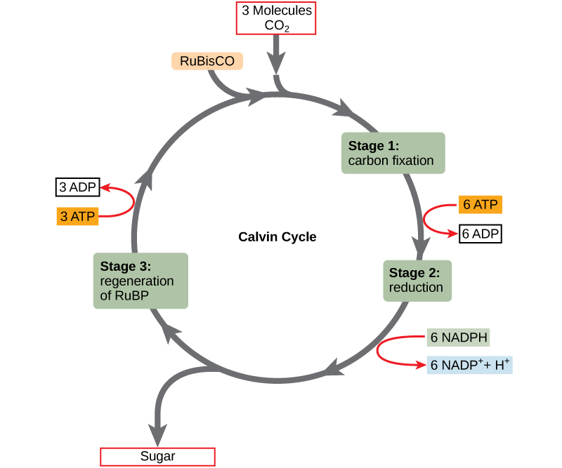 The Calvin Cycle Biology I