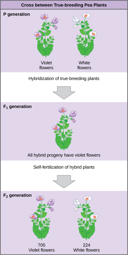 In one of his experiments on inheritance patterns, Mendel crossed plants that were true-breeding for violet flower color with plants true-breeding for white flower color (the P generation).