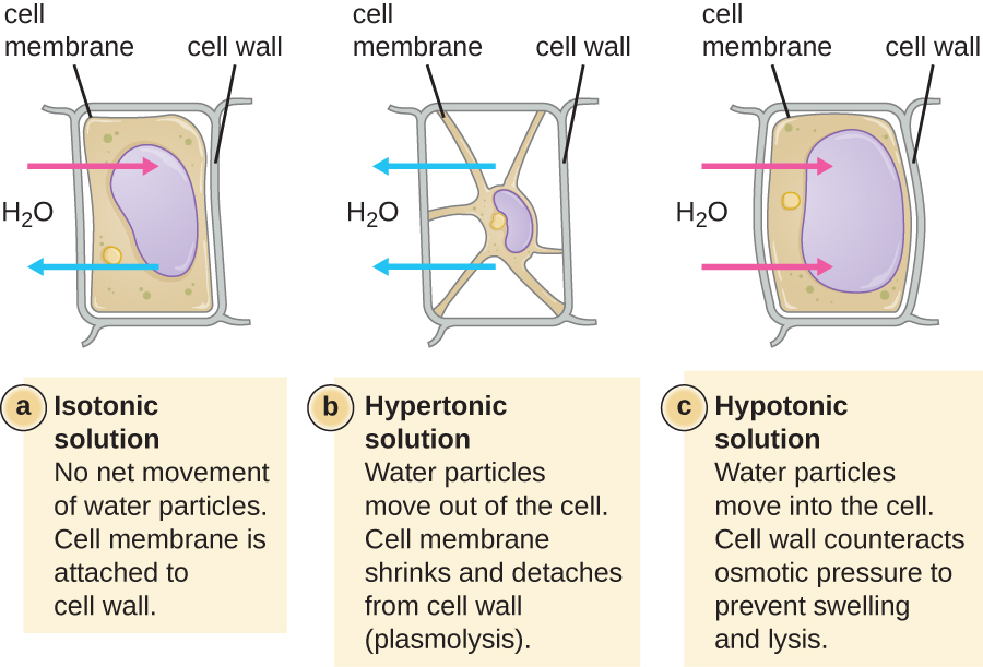 Diagram depicting the effects of osmosis on cells with cell walls.
