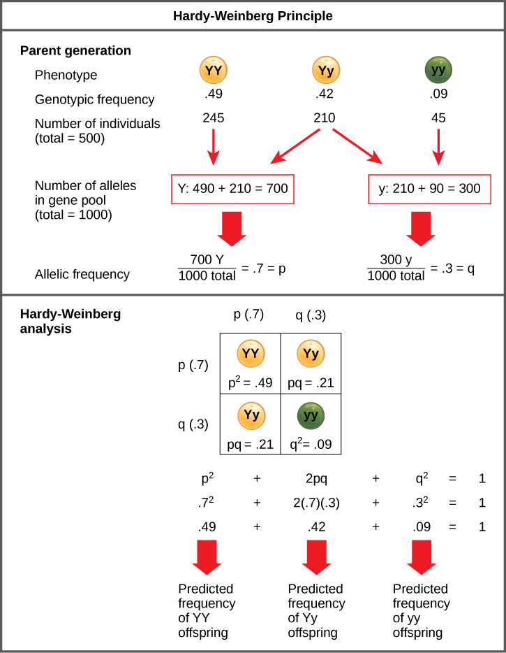 The Hardy–Weinberg principle is used to predict the genotypic distribution of offspring in a given population. In the example given, pea plants have two different alleles for pea color. The dominant capital Y allele results in yellow pea color, and the recessive small y allele results in green pea color. The distribution of individuals in a population of 500 is given. Of the 500 individuals, 245 are homozygous dominant (capital Y capital Y) and produce yellow peas. 210 are heterozygous (capital Y small y) and also produce yellow peas. 45 are homozygous recessive (small y small y) and produce green peas. The frequencies of homozygous dominant, heterozygous, and homozygous recessive individuals are 0.49, 0.42, and 0.09, respectively.  Each of the 500 individuals provides two alleles to the gene pool, or 1000 total. The 245 homozygous dominant individuals provide two capital Y alleles to the gene pool, or 490 total. The 210 heterozygous individuals provide 210 capital Y and 210 small y alleles to the gene pool. The 45 homozygous recessive individuals provide two small y alleles to the gene pool, or 90 total. The number of capital Y alleles is 490 from homozygous dominant individuals plus 210 from homozygous recessive individuals, or 700 total. The number of small y alleles is 210 from heterozygous individuals plus 90 from homozygous recessive individuals, or 300 total.  The allelic frequency is calculated by dividing the number of each allele by the total number of alleles in the gene pool. For the capital Y allele, the allelic frequency is 700 divided by 1000, or 0.7; this allelic frequency is called p. For the small y allele the allelic frequency is 300 divided by 1000, or 0.3; the allelic frequency is called q.  Hardy–Weinberg analysis is used to determine the genotypic frequency in the offspring. The Hardy-Wienberg equation is p-squared plus 2pq plus q-squared equals 1. For the population given, the frequency is 0.7-squared plus 2 times .7 times .3 plus .3-squared 