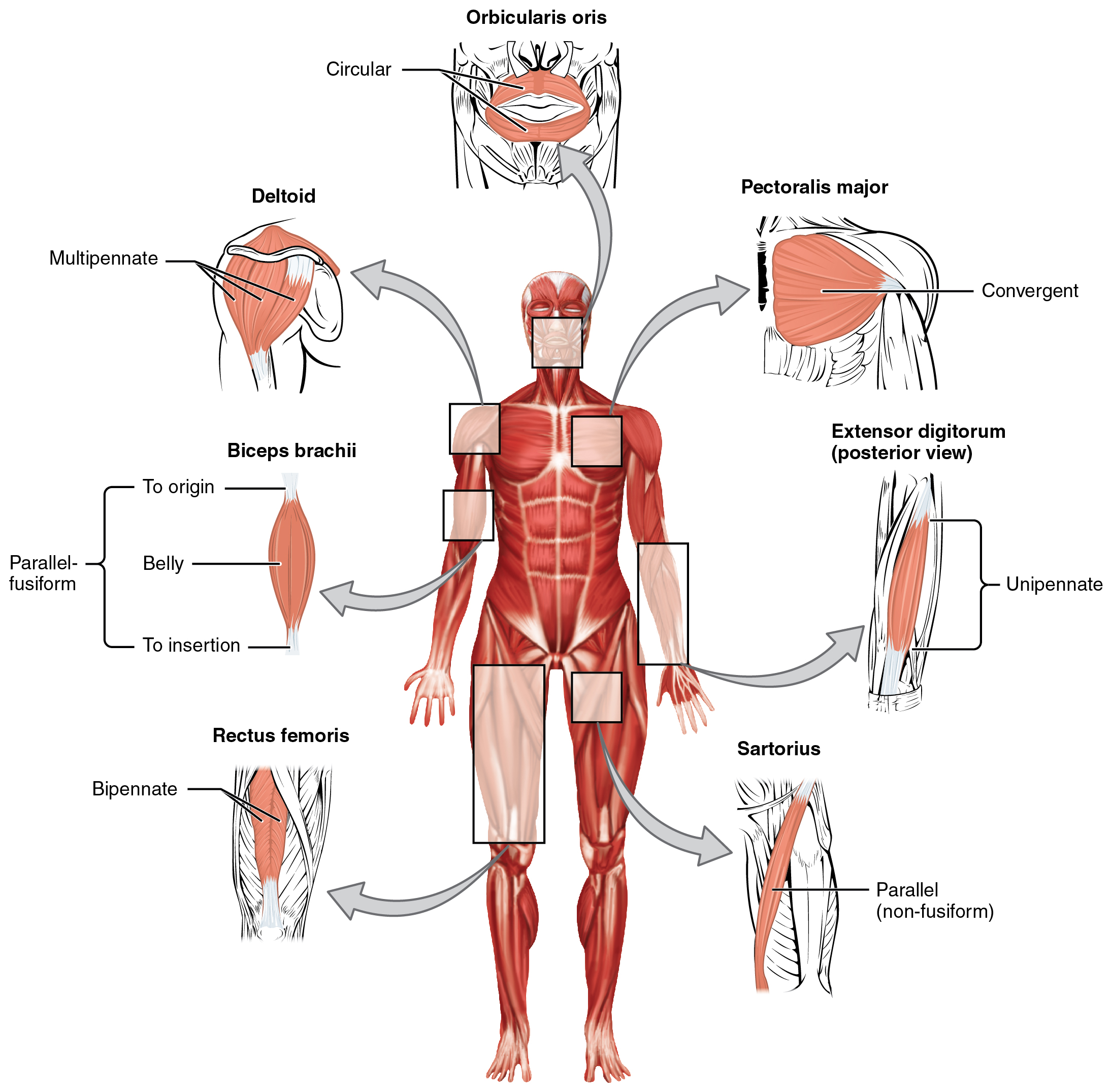 Interactions Of Skeletal Muscles Their Fascicle Arrangement And