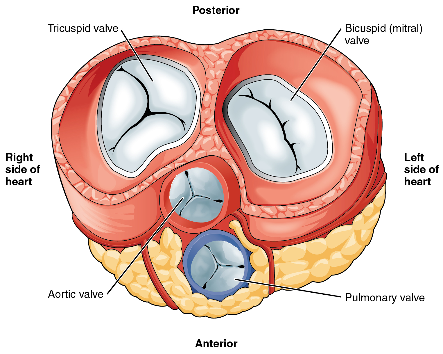 This diagram shows the anterior view of the heart with the different heart valves labeled.
